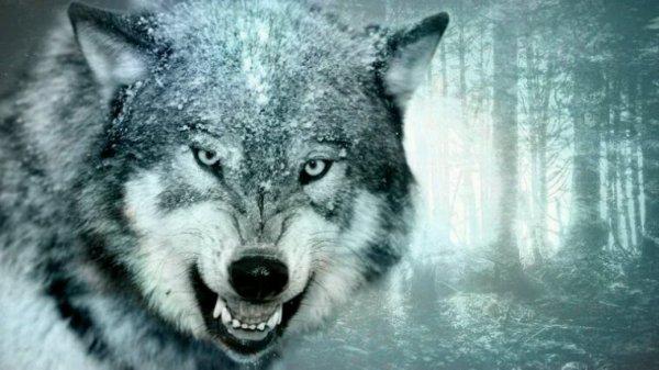 KDO de la part d'un loup sur en toute sincérité !! ;)