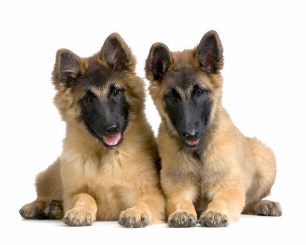deux chien