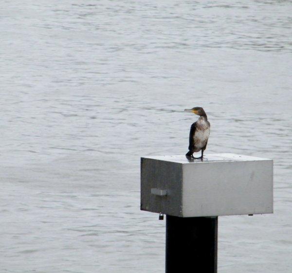 LA PLANTE - Le cormoran pose sur le puits de mesure du niveau aval du barrage.