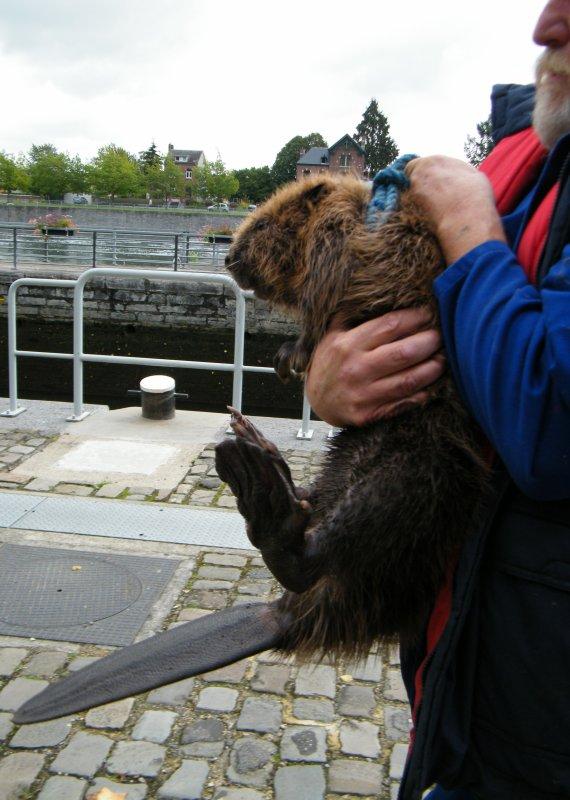 Un castor réfugié dans une chambre de vanne du barrage de La Plante...