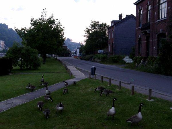 Trop de Bernaches du Canada, une sorte d'oies sauvages, en Wallonie.... (RTL info)