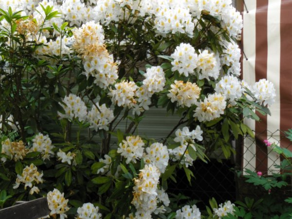 le rhododendrons