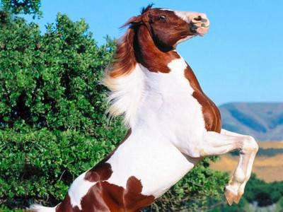 Te voici dans un blOg consacré aux chevaux et plus particulièrement les pies!(il y a d'autres robes vous inquiétez pas!)