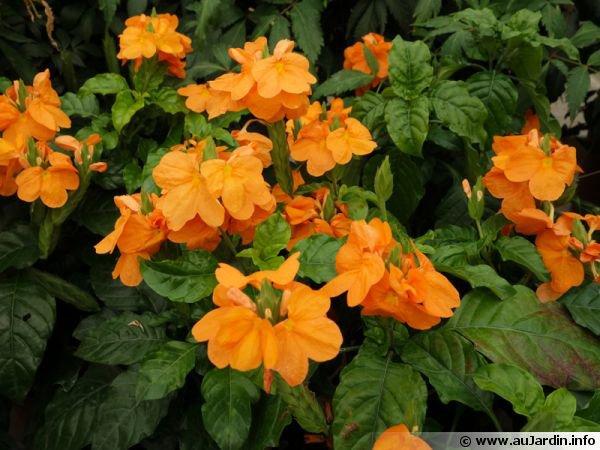 2015.06*2:Crossandra infundibuliformis