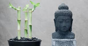 2008.03*2 plante :Bambusa multiplex:Lucky
