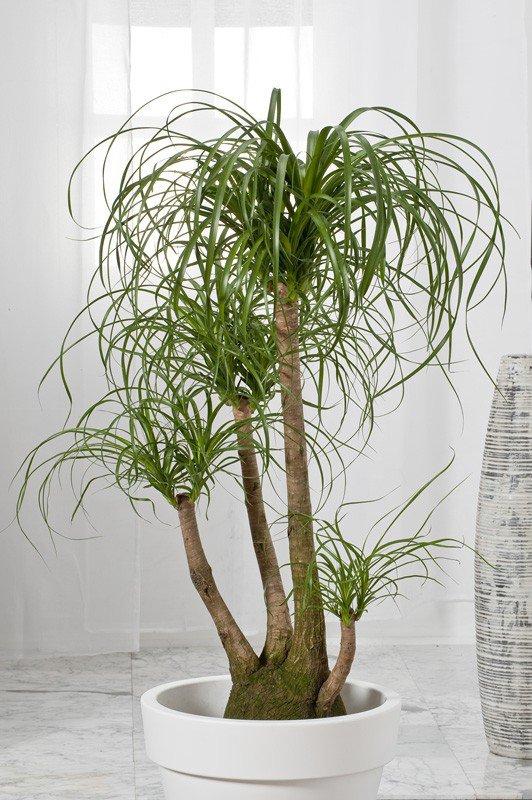 2008.06*2-plante interieur:Beaucarnea