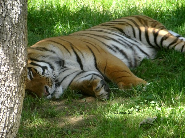 Tigre ♥