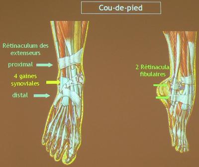 Coup de pied anatomie 2e quadri - Coupe des ongles de pieds ...