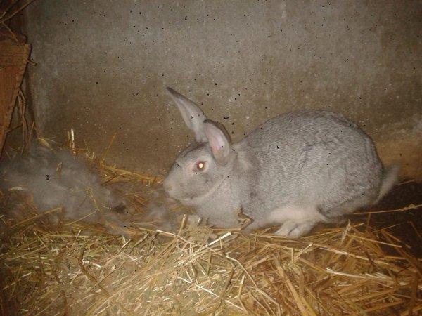 ma lapine geant des flandres gris elle a pris avec un geant des flandre marrron