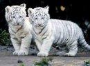 Photo de I-Love-Tigers