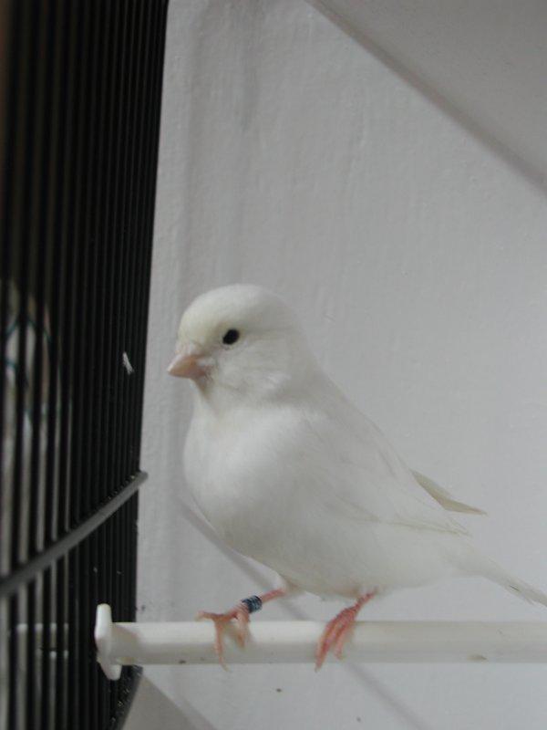 split albino