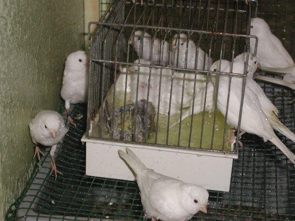 witte kanarie's