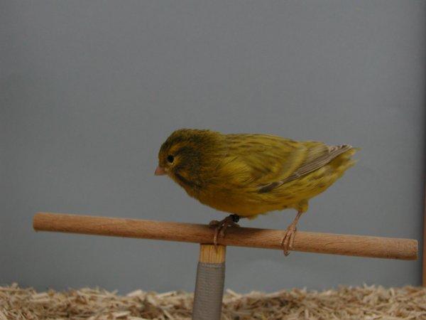 agaat geel onyx intensief (zonder staart )