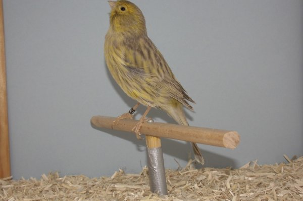 agaat onyx geel schimmel (pop)