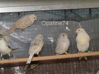 femelles de canaris