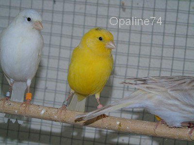 mâles de canaris