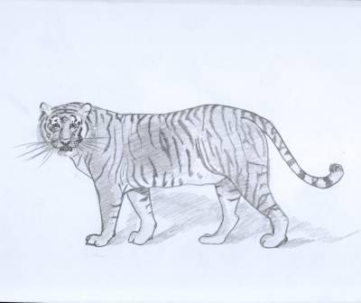 Tigre du bengale mes dessins - Dessins d animaux sauvages ...