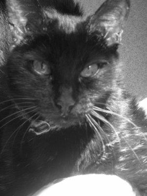 le chat, Cokine