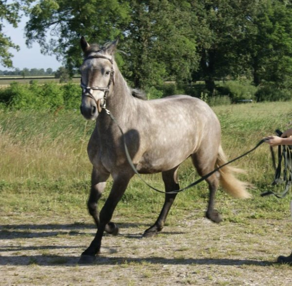 poney francais de selle a vendre