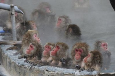 Animal : Les singes japonais à la station thermale (温泉好きのサルたち)