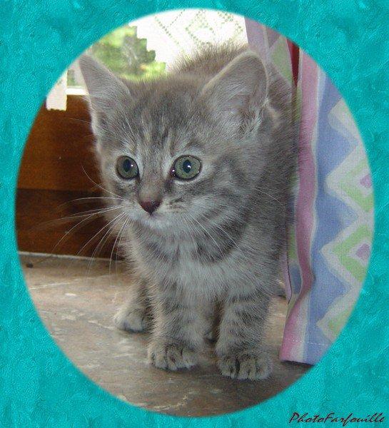 nouveaux chaton gris trop trop mignon et adorable non
