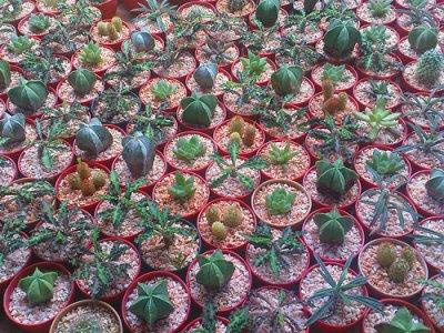 Les petits cactus !