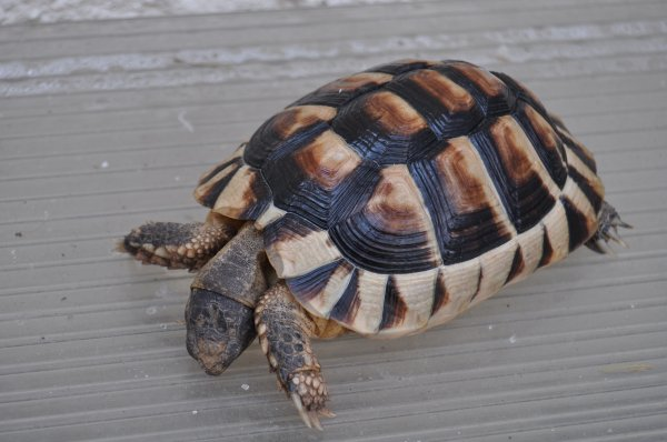 qui peut me dire le sexe de mes tortues ?
