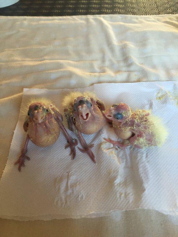 nos 3 beaux bebe calopsitte que apprivoise il ont 14 jours
