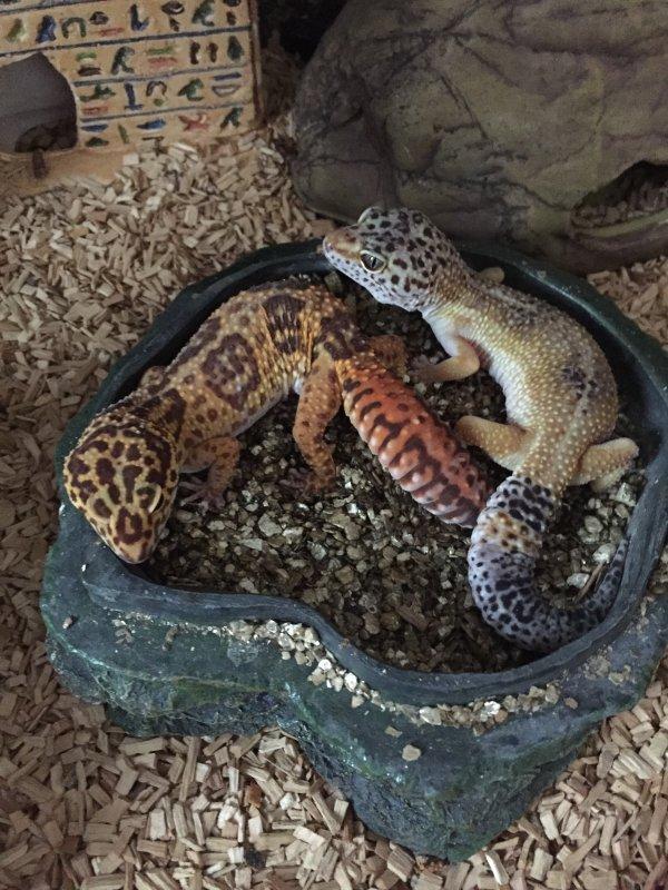 préparation du terrain pose du tapi chauffant    le couples de gecko