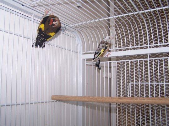 femelle Parva panachée et mâle GB