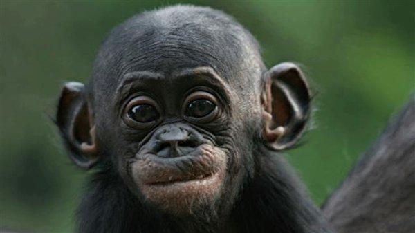 Hello les Bonobos !