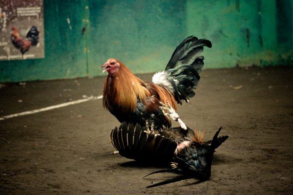 image gallos de pelea