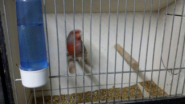 Machallah .Préparation des oiseau de chardo 27