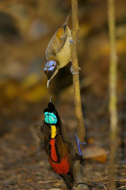 """Ces aventuriers """"de la science"""" ont dû attendre des heures, parfois des jours, bien cachés dans les cimes des arbres pour saisir au vol ces oiseaux sauvages, mais ô combien enchanteurs, """"chanteurs"""" et parfois mêmes """"danseurs pour une parade nuptiale"""" dans leurs spectaculaires robes aux milles couleurs et leur environnement naturel loin de la folie dévastatrice des hommes. A travers cette série de photographies mais aussi la vidéo ci-dessus prise dans les plus belles et éloignées forêts du monde dont celles de la Nouvelle-Guinée ou d'Indonésie, nous allons donc partir à la découverte de ces espèces rares d'oiseaux qui n'ont pour leur grande majorité jamais été approchées et encore moins photographiées."""