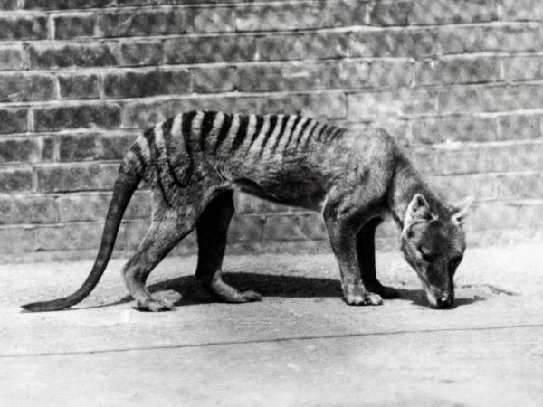 Tigre de Tasmanie Aussi appelée le thylacine, ou loup marsupial, cette espèce qui était répandue dans le sud-est de l'Australie a été décimée à la fin du 19e siècle. Le dernier spécimen connu est mort en 1936.