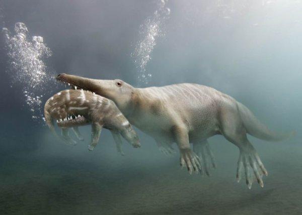"""Ambulocetus Aussi appelé """"La baleine qui marche"""", l'Ambulocetus était une sorte de crocodile mammifère qui a vécu il y a environ -50 millions d'années. Il est considéré comme l'ancêtre des Cétacés modernes"""