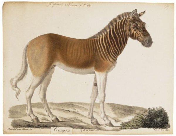 Quagga Le Quagga est une sous-espèce de zèbre d'Afrique du Sud, exterminée au 19e siècle par les colons européens d'Afrique australe. La race s'est éteinte en 1883.