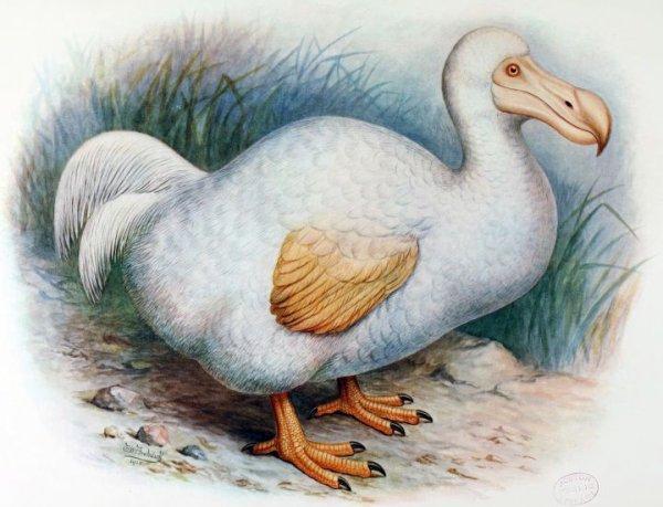 Dodo Animal emblématique de l'île Maurice, le Dodo faisait la taille d'un dindon, pesait environ 20 kg et mesurait à peu prés 1 mètre. Du fait de l'absence de prédateurs, il avait également perdu avec le temps son aptitude au vol. Il a disparu à la fin du 17e siècle