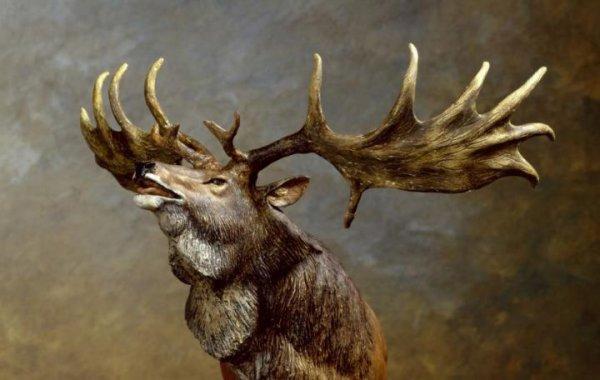 Élan Irlandais L'élan irlandais a été l'un des plus grands cervidés de tous les temps, dont les bois mesuraient jusqu'à 3,50 m d'une extrémité à l'autre. Les dernières traces de cette espèce datent d'il y a environ 11.000 ans.