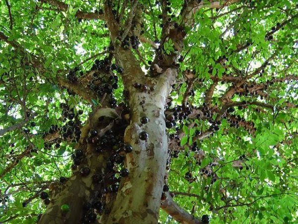 Jabuticaba L'Arbre qui donne du raisin sur son tronc