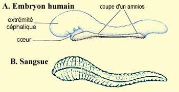 A) Ce que dit le Coran sur le développement embryonnaire humain: