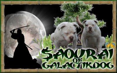 american thug bully samourai of galactikdog  fils de Agros