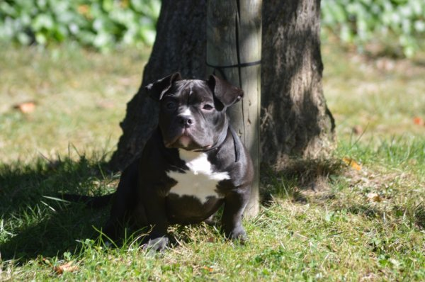 http://www.bullypedia.net/americanbully/details.php?id=248407