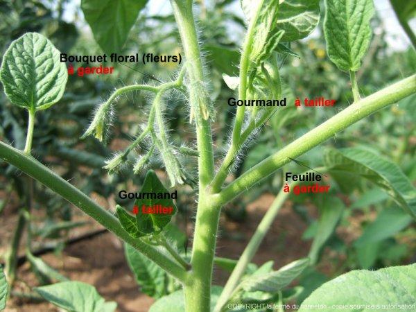 Bouquet de feuilles de tomates elle éloigne les guêpes et les moustiques