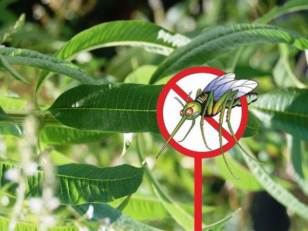 L'Eucalyptus Citronné est une arme anti-moustiques efficace.
