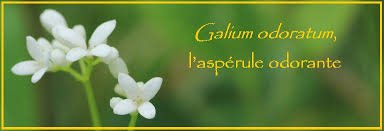 L'aspérule odorante répulsive contre tous types d'insectes volants (moustiques, guêpes, frelons...). .