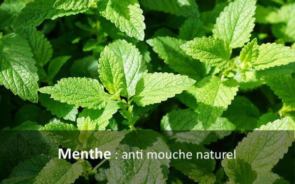 La Menthe anti-moustiques, mouches, tiques, insectes....