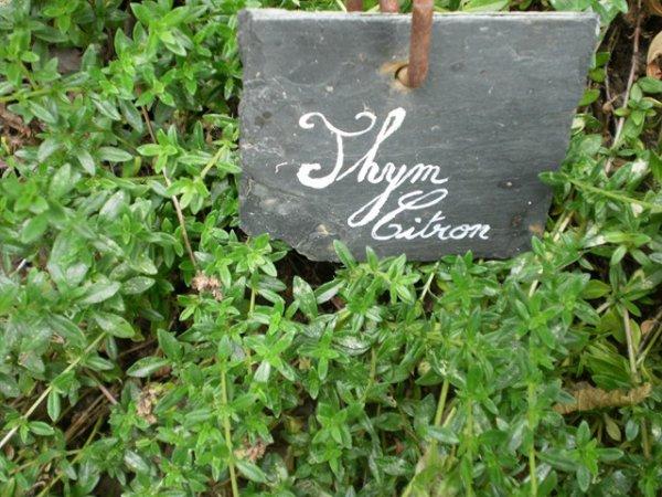 Thym citron: graines-et-plantes. Permettre d'éviter les moustiques.
