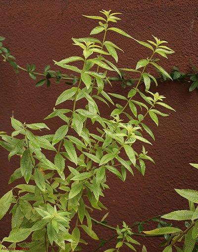 Verveine citronnelle. Répulsif naturel, chasser les MOUSTIQUES, TIQUES, MOUCHES insectes indésirables