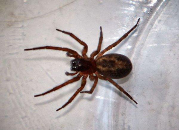 Une nouvelle espèce d'araignée ! Très venimeuse, on l'appelle la « fausse veuve noire ».